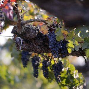 zinfandel primitivo italiaanse wijn californië