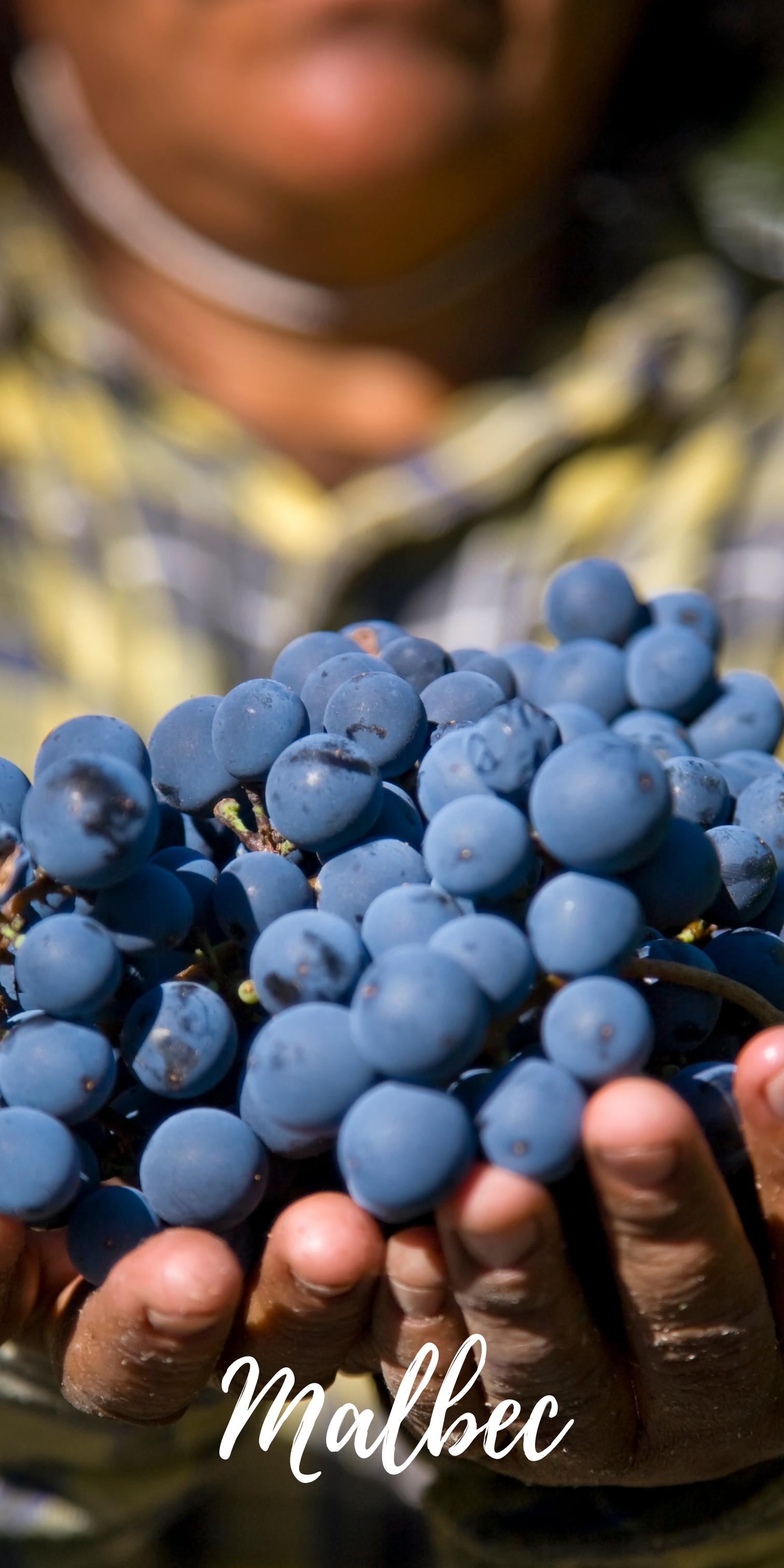 malbec druif argentijnse wijn online kopen druif